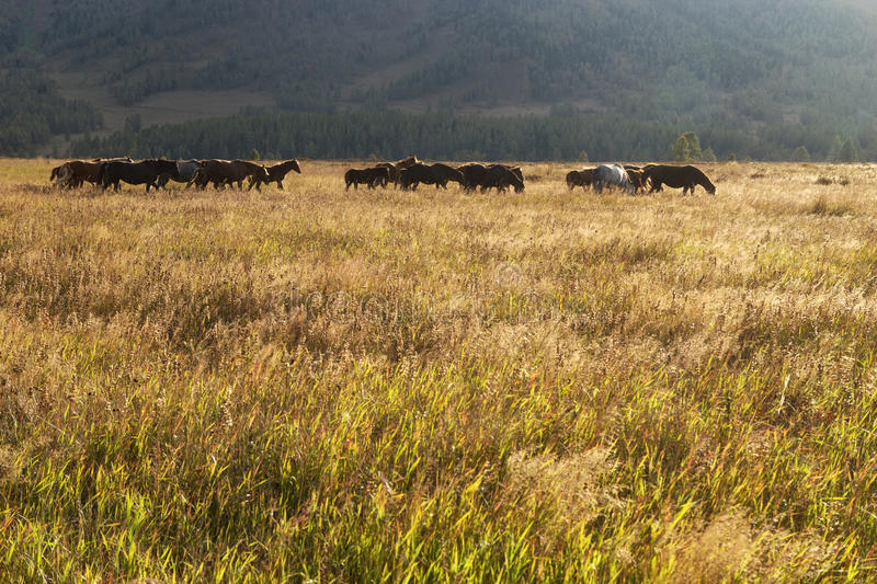 Herde von Pferden auf einer Weide lizenzfreie stockbilder