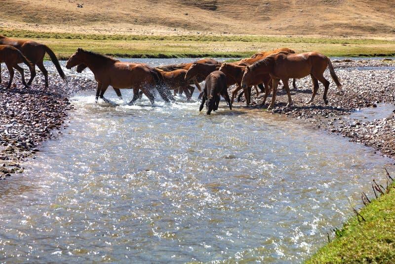 Herde von Pferden und von Fluss stockfotos