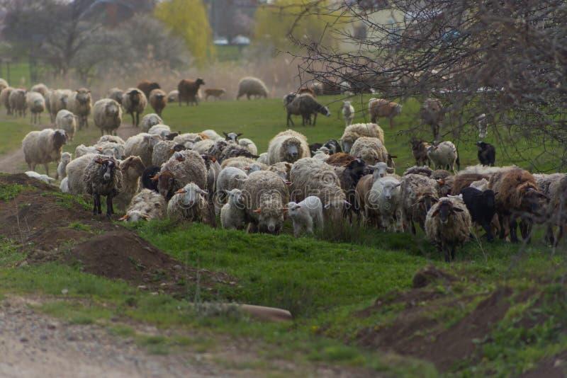 Herde von Schafen und RAMs fahren Landstraße fort, für das Essen des Grases auf Wiese zu weiden stockbild