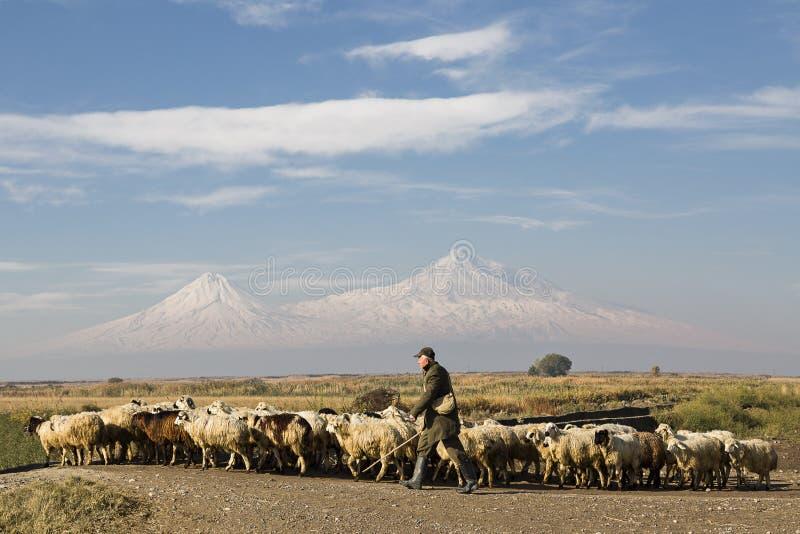 Herde von Schafen und von Schäfer mit den zwei Spitzen des Ararats auf dem Hintergrund in Eriwan, Armenien stockbild