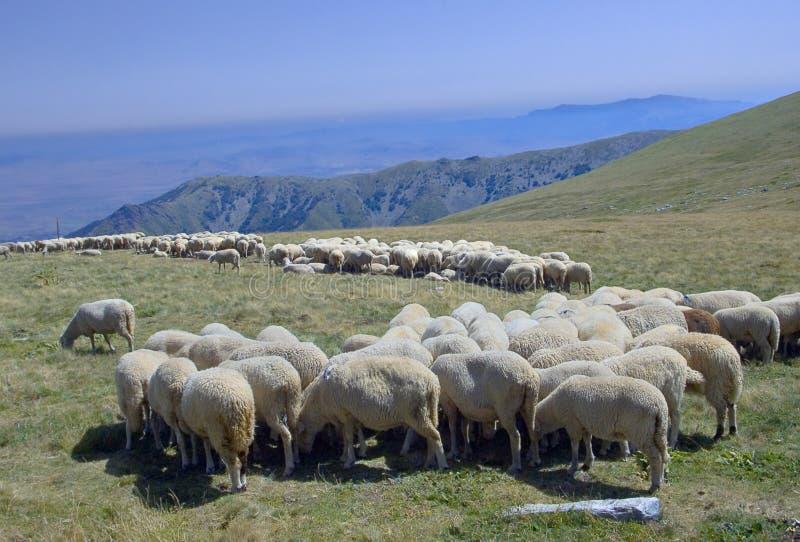 Herde von sheeps am grazeland in Makedonien lizenzfreie stockbilder