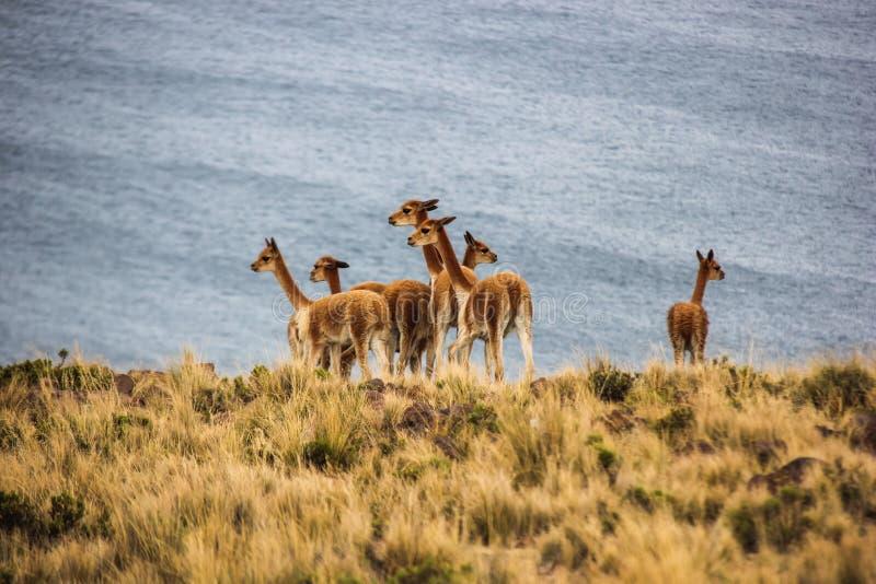Herde von Vicunjas nahe Titicaca-See lizenzfreies stockbild