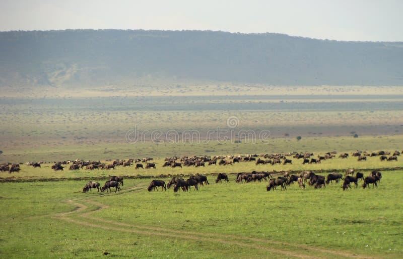 Herde von Wildebeest lizenzfreie stockbilder