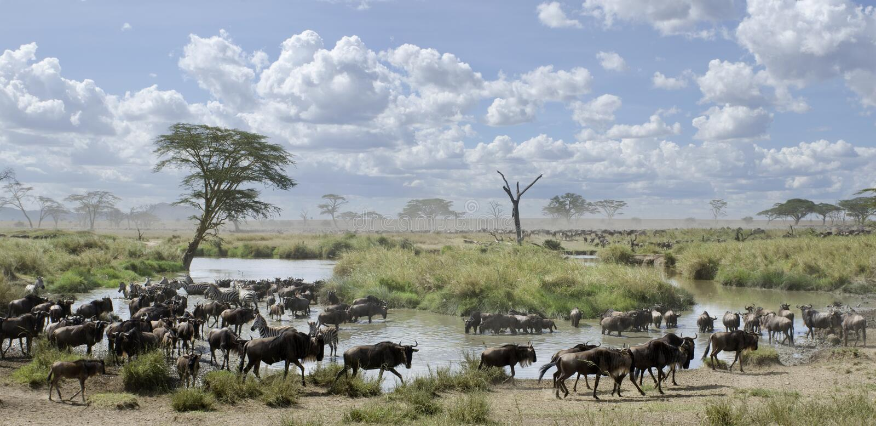 Herde von Wildebeest und von Zebras in Serengeti lizenzfreies stockbild