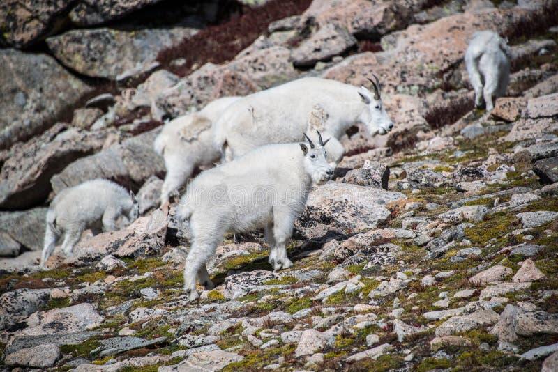 Herde von wilden Gebirgsziegen in Rocky Mountains von Colorado stockfotografie