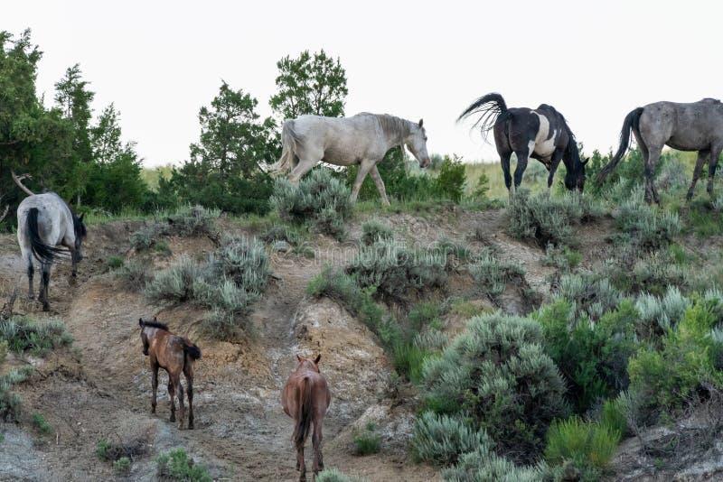 Herde von wilden Pferden klettern Wüsten-Hügel lizenzfreie stockfotografie