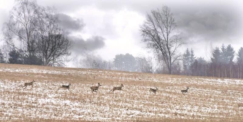 Herde von wilden Rotwild, Litauen lizenzfreies stockfoto