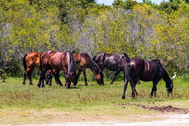 Herde von wilden spanischen Mustangs auf den äußeren Banken stockbild