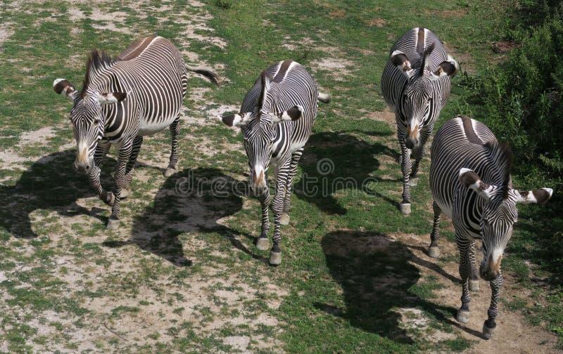 Herde von Zebras im ZOO in Dvur Kralove nad Labem lizenzfreie stockfotografie