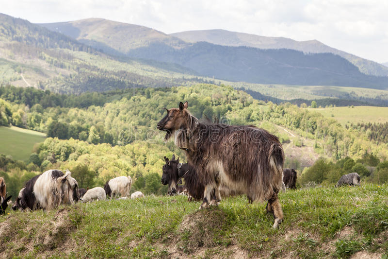 Herde von Ziegen in der grünen Weide stockbild