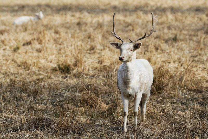 Herde weißen Damhirsche Dama Dama in der Natur stockfotografie