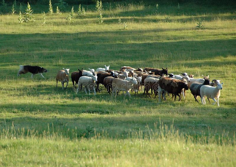 In Herden leben 6 lizenzfreies stockfoto
