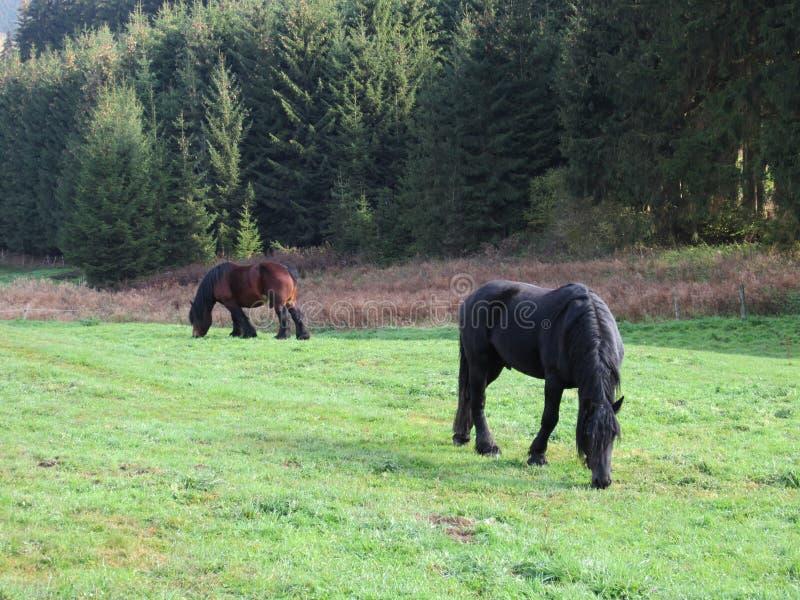 In Herden leben der Pferde stockfotos