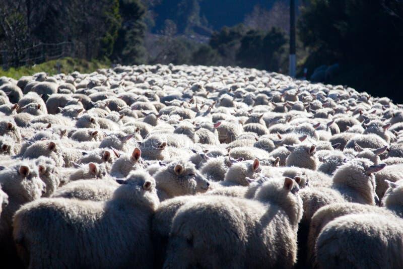 In Herden leben der Schafe lizenzfreies stockbild