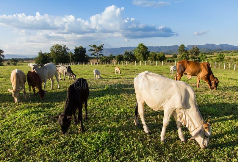Herden-thailändische Kühe, die Gras essen stockbilder