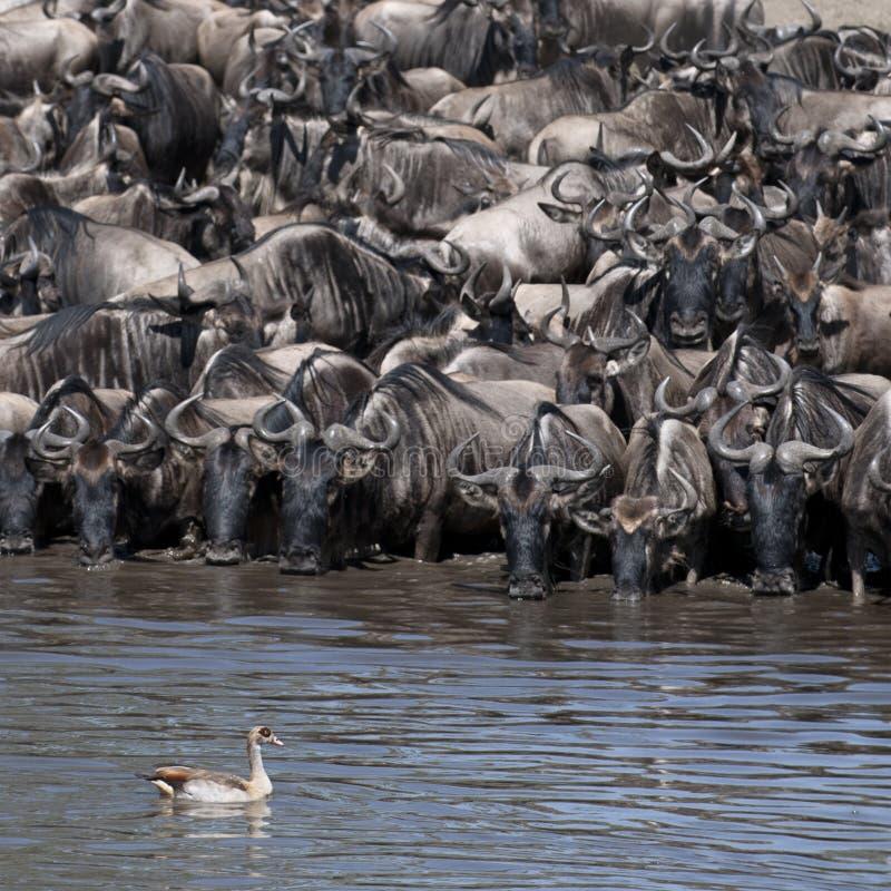 Herden von Wildebeest und von Vogel beim Serengeti stockbild