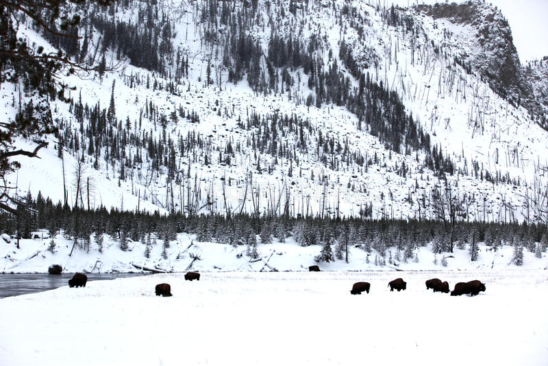 Herdenbüffel in Yellowstone stockfoto