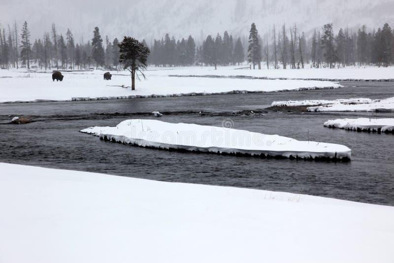 Herdenbüffel in Yellowstone lizenzfreie stockfotos