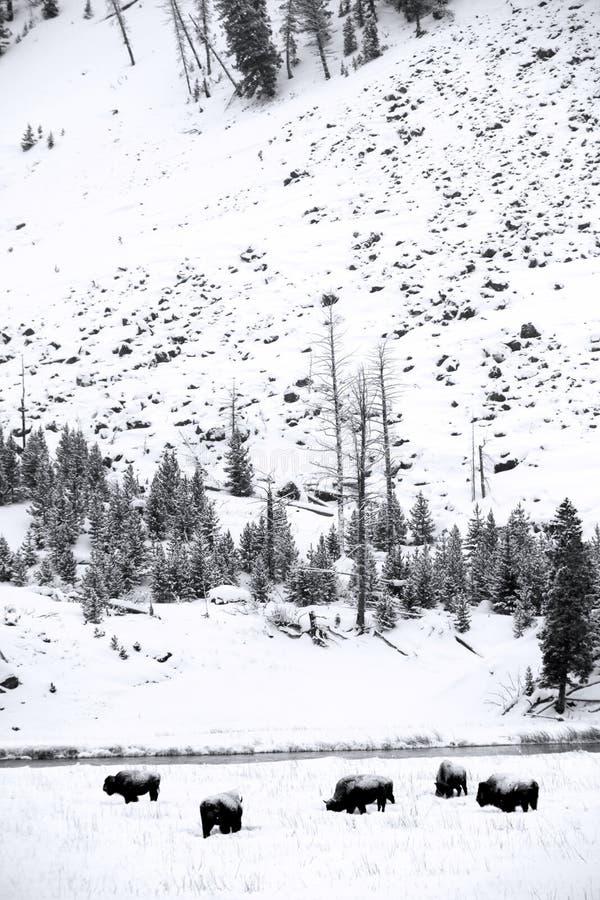 Herdenbüffel in Yellowstone NP lizenzfreies stockfoto