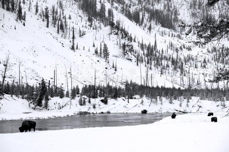 Herdenbüffel in Yellowstone NP stockfotografie