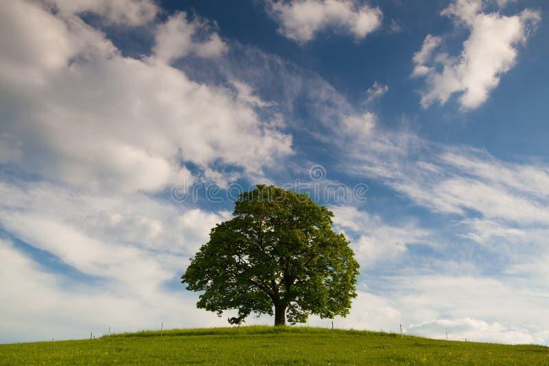 Herdenkingsesdoornboom op de mysticusplaats in Votice stock foto