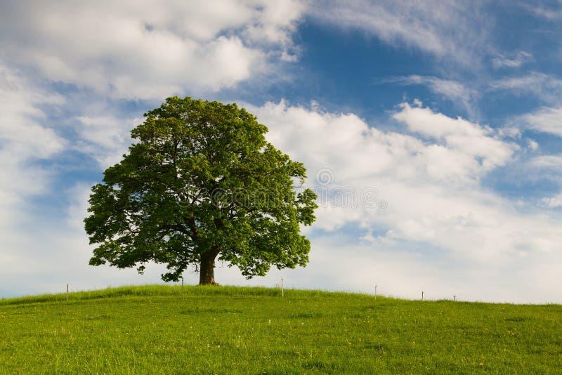 Herdenkingsesdoornboom op de mysticusplaats in Votice stock foto's
