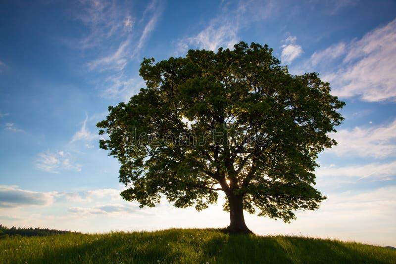 Herdenkingsesdoornboom op de mysticusplaats in Votice stock fotografie