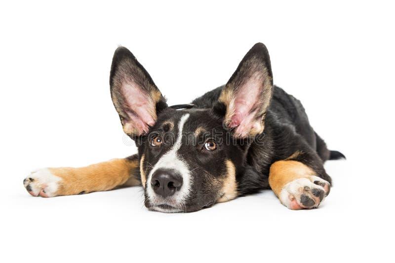 Herder Crossbreed Puppy Lying onderaan Vlakte royalty-vrije stock afbeelding