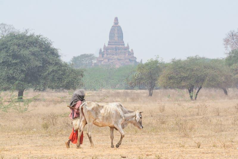 Herder die een uitgemergelde koe weiden door het droge gebied met tempels en pagoden van oude Bagan op achtergrond, Myanmar stock foto's