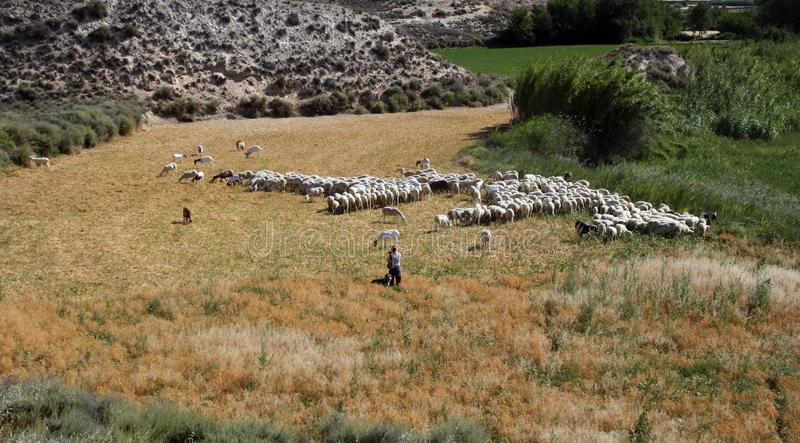 Herder en een troep van schapen stock foto