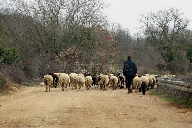 Herder en sheeps stock afbeelding