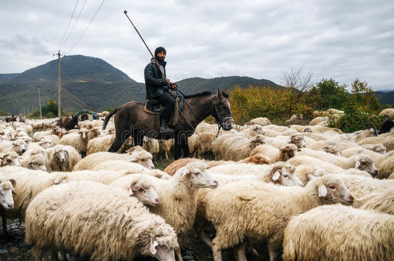 Herder met oplichter het berijden paard en hoedende groep schapen stock afbeelding