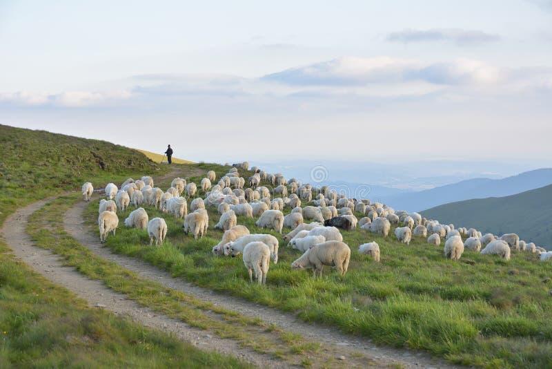 Herder met zijn schapen stock foto's