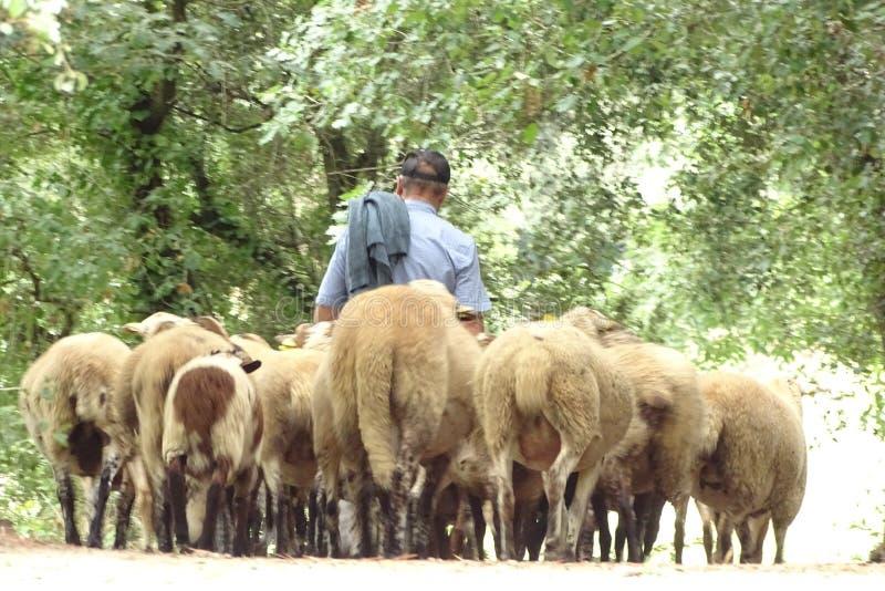 Herder met zijn schapen op weiland royalty-vrije stock foto's