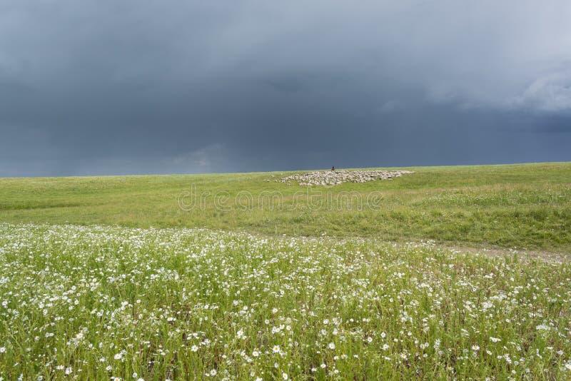 Herder With Sheep De troep weidt op de heuvel Groene Heuvel Licht onduidelijk beeld in agent om motie te tonen stock foto's