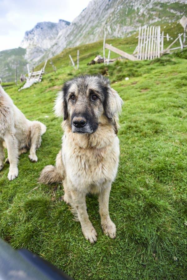 Herdershond in de Durmitor-Bergen in Montenegro royalty-vrije stock afbeeldingen