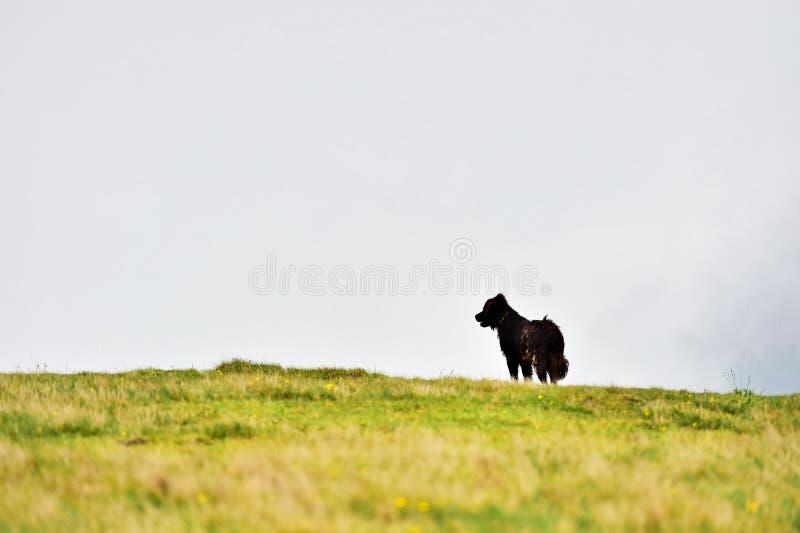 Herdershond die schapenkudde beschermen stock fotografie