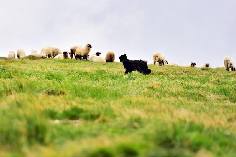 Herdershond die schapenkudde beschermen stock foto's