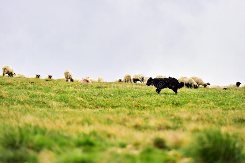 Herdershond die schapenkudde beschermen stock foto