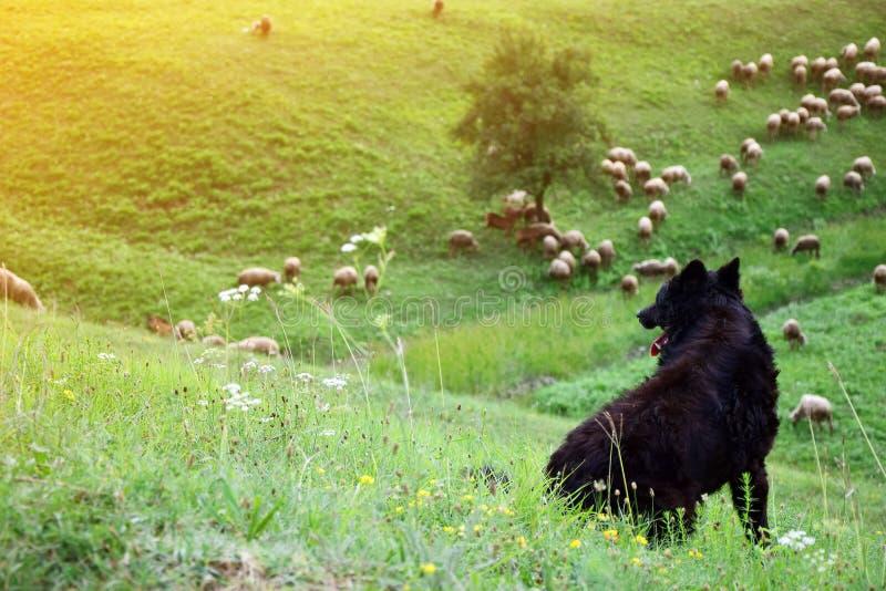 Herdershond en schapentroep stock afbeeldingen