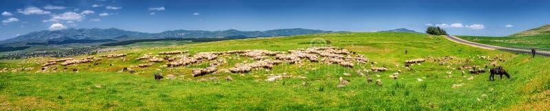 Herderskudde een troep van schapen op een groene weide in de bergen Het schaap knaagt aan sappig gras in het weiland op zonnig stock afbeeldingen
