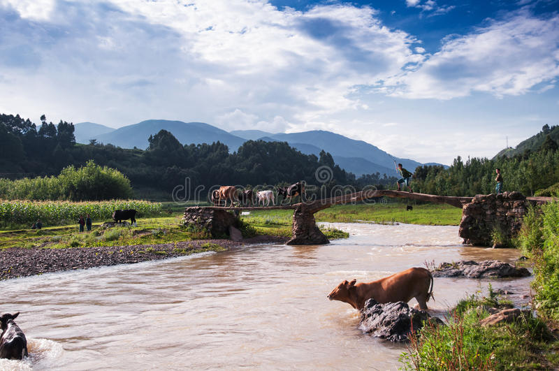 Herding boy and cattle teams. A cattle teams were acrossing the bridge and the herding boy was driving his cow. This scene appeared at Liangshan yi autonomous royalty free stock image