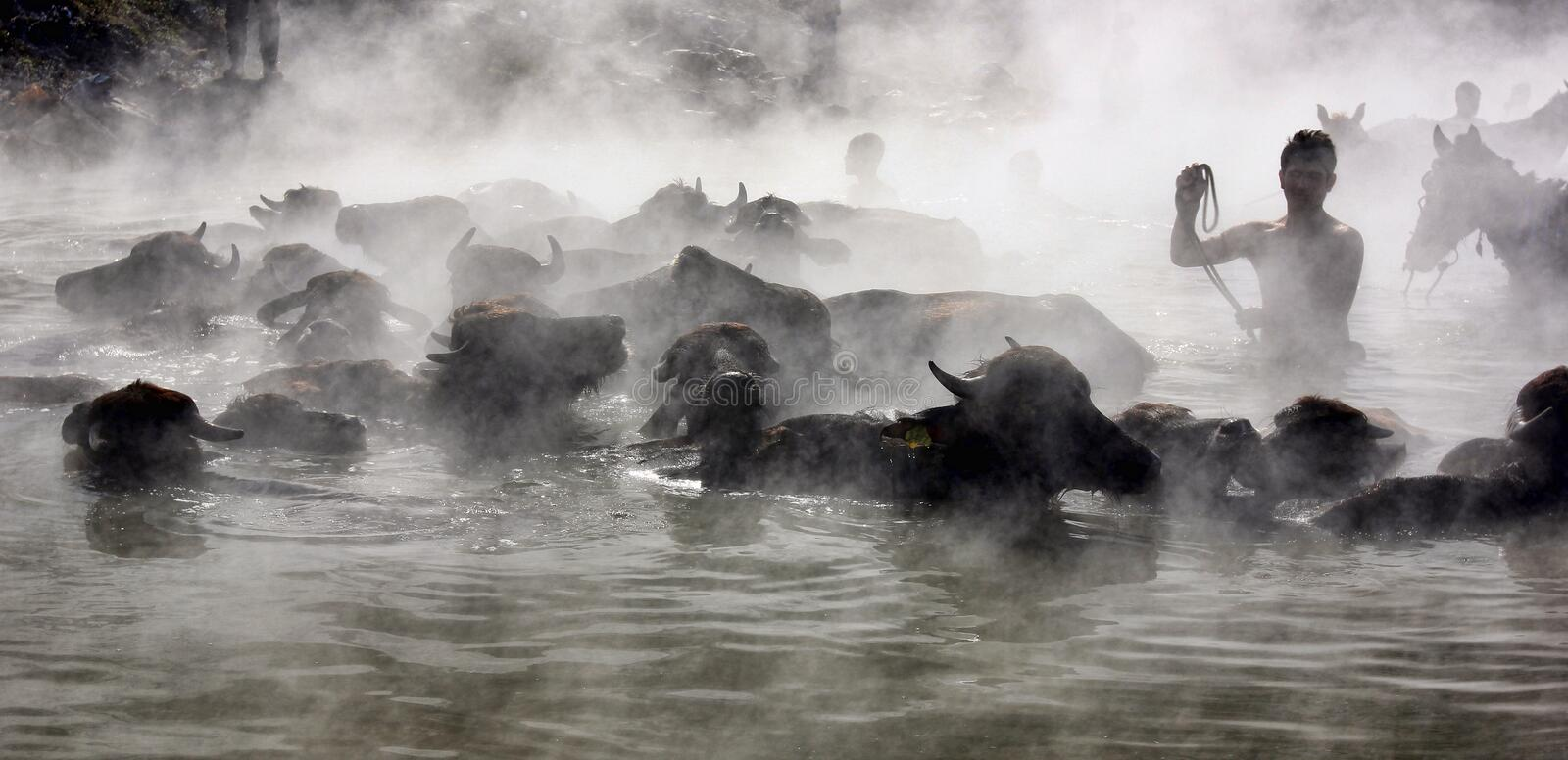 Herding buffalos in hot water in winter royalty free stock photography