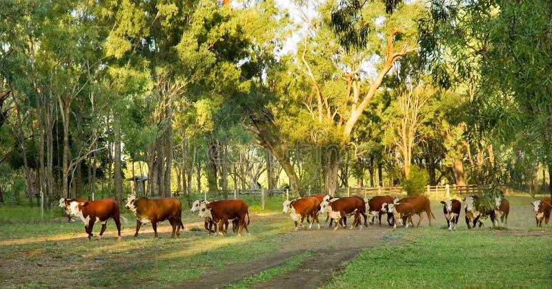 Herding of cattle stock images