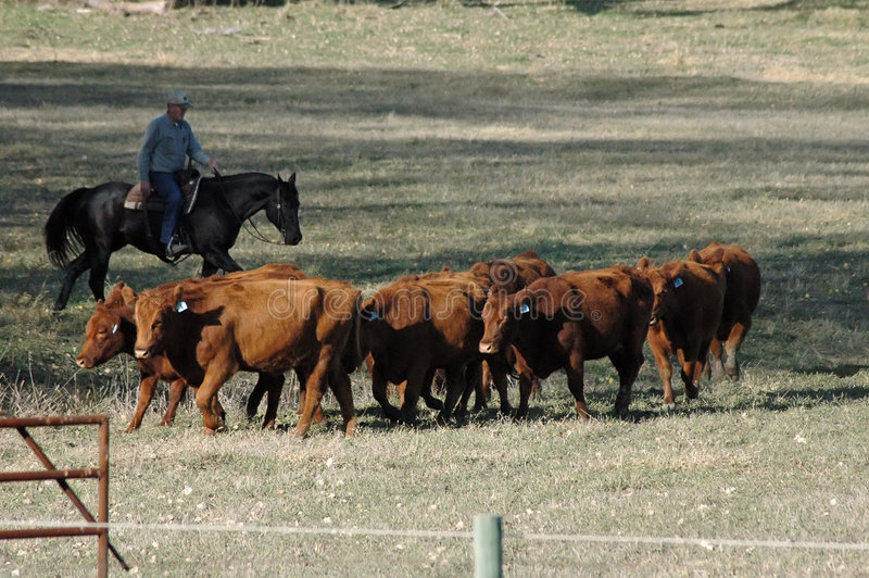 Herding cattle stock images
