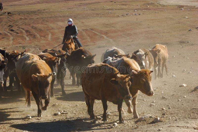 Herding cattle stock photography