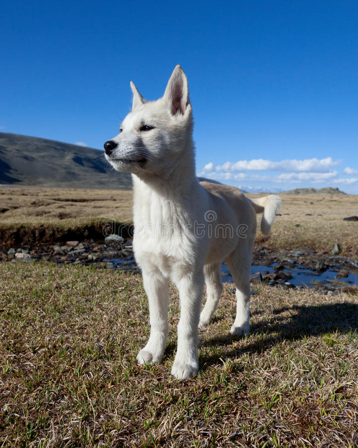 Herding dog. In the mountains of Asia stock photo