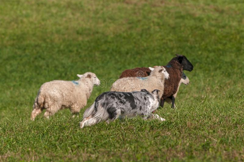Herding Dog Behind Group of Sheep Ovis aries. At sheep dog herding trials royalty free stock image