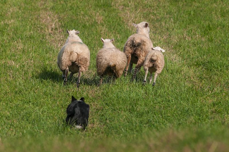 Herding Dog Behind Lined Up Sheep Ovis aries. At sheep dog herding trials stock photo