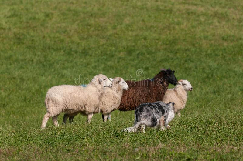 Herding Dog Walks Up on Line Sheep Ovis aries. At sheep dog herding trials royalty free stock image